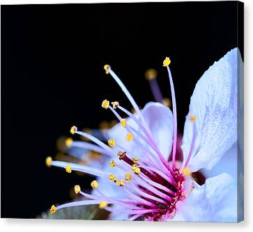 Canvas Print featuring the photograph Plum Tree Blossom V by Robert Culver