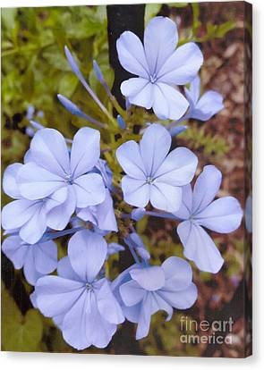 Plumbago Auriculata Or Cape Wort Canvas Print by Rod Ismay