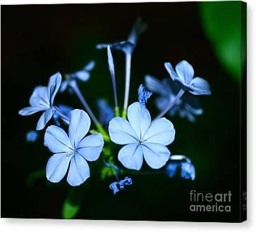 Plumbago Blue Canvas Print