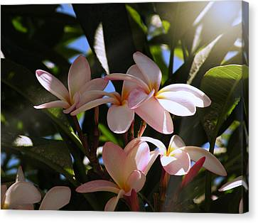 Canvas Print featuring the photograph Plumeria by Micki Findlay