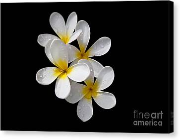 Plumerias Isolated On Black Background Canvas Print by David Millenheft