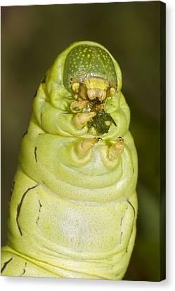 Plump Green Caterpillar Canvas Print