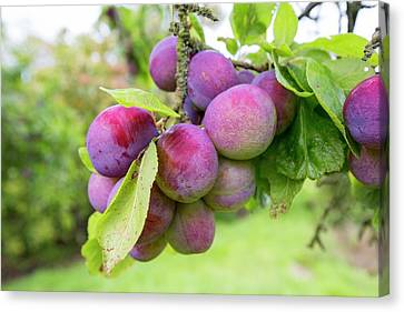Plums Growing In An Orchard Canvas Print by Ashley Cooper