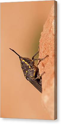 Poekilocerus Bufonius Canvas Print by Photostock-israel