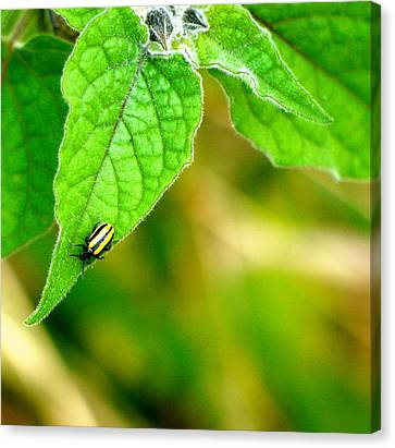 Canvas Print featuring the photograph Poha Berry Beetle by Lehua Pekelo-Stearns