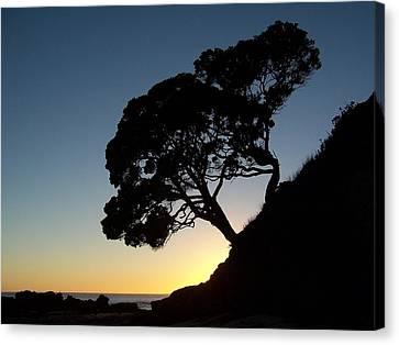 Pohutukawa Trees At Sunrise Canvas Print by Peter Mooyman