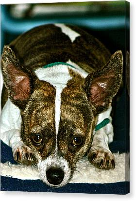 Canvas Print featuring the photograph Poi The Chihuahua Terrier by Lehua Pekelo-Stearns