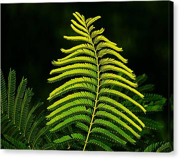 Canvas Print featuring the photograph Poinciana Leaf by Lorenzo Cassina