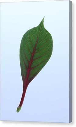 Poinsettia Leaf Canvas Print by Richard Stephen