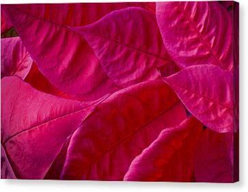 Poinsettia Leaves 1 Canvas Print by Rich Franco