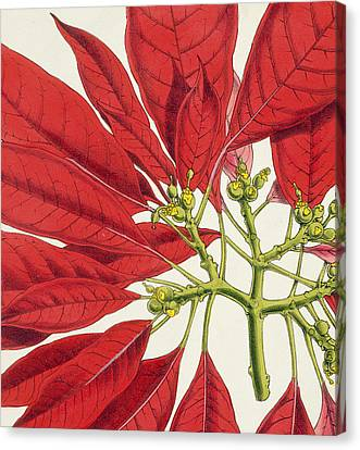 Poinsettia Pulcherrima Canvas Print by WG Smith