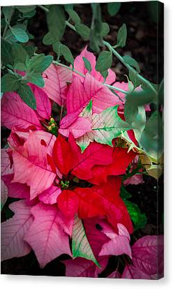 Poinsettias In Maturation Canvas Print by Gene Sherrill