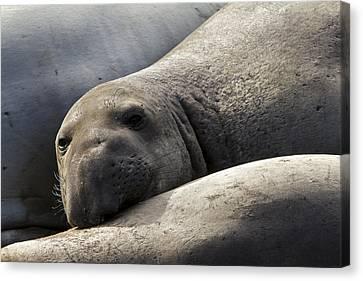 Point Piedras Blancas Elephant Seal 1 Canvas Print