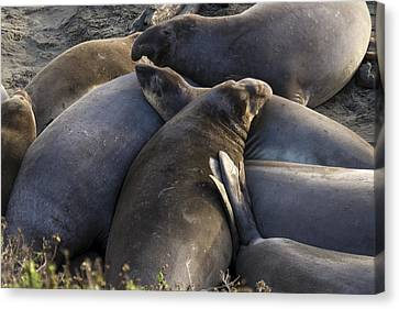 Point Piedras Blancas Elephant Seals 2 Canvas Print