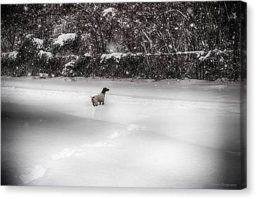 Canvas Print featuring the photograph Pointer In The Storm by Phil Abrams