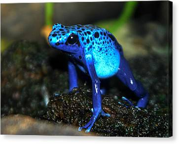 Poison Blue Dart Frog Canvas Print by Optical Playground By MP Ray
