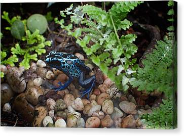 Poison Dart Frog Canvas Print by Carol Ailles