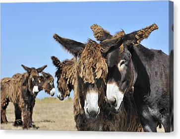 Canvas Print featuring the photograph Poitou Donkey 3 by Arterra Picture Library