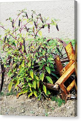 Pokeweed Plant In Fruit Canvas Print by Pamela Patch