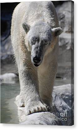 Polar Bear Balance Canvas Print by DejaVu Designs