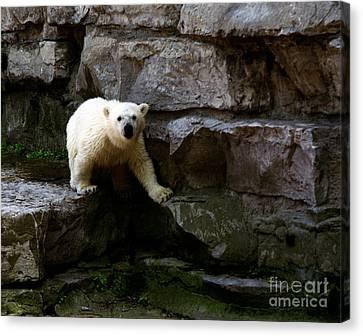Canvas Print featuring the photograph Polar Bear Cub by Tom Brickhouse