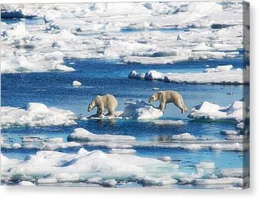 Polar Bear Cubs In Svalbard Canvas Print