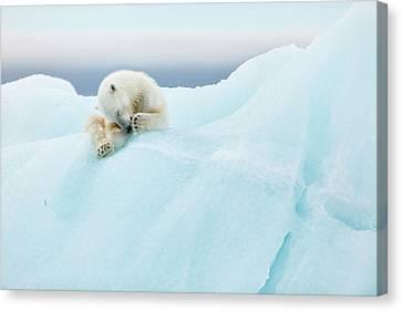 Polar Bear Grooming Canvas Print