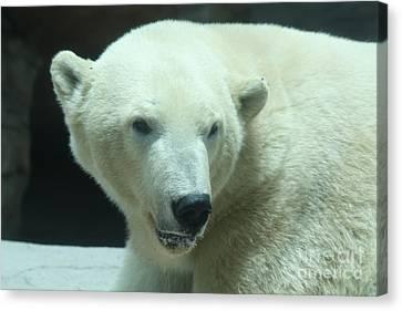 Polar Bear Head Shot Canvas Print by John Telfer