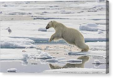 Polar Bear Jumping  Canvas Print by Peer von Wahl