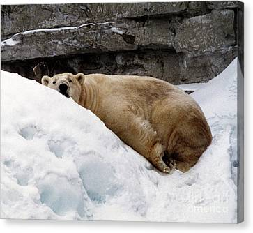 Canvas Print featuring the photograph Polar Bear Looking by Tom Brickhouse