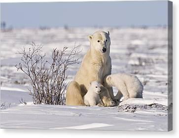 Polar Bear Nurses Cubs Canvas Print