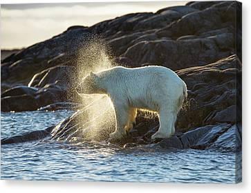Polar Bear Shaking Water Off Canvas Print by Peter J. Raymond