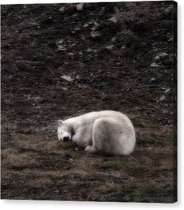Polar Bear Sleeping, Spitsbergen Canvas Print by Panoramic Images