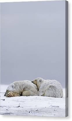 Polar Bear Sow With Cub Resting Canvas Print