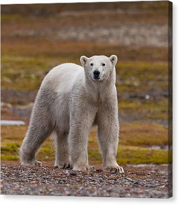 Polar Bear, Spitsbergen Island Canvas Print by Panoramic Images