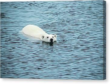 Polar Bear Swimming Canvas Print by Peter J. Raymond