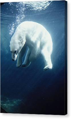 Polar Bear Swimming Underwater Alaska Canvas Print