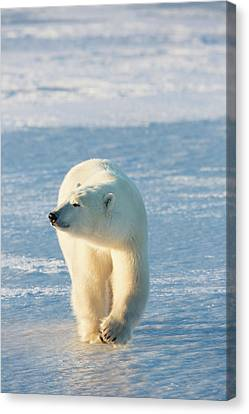 Polar Bear Ursus Maritimus Walking Canvas Print by Panoramic Images