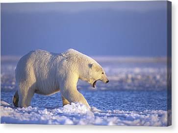 Polar Bear Walking On Pack Ice Beaufort Canvas Print