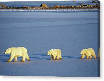 Polar Bears (ursus Maritimus Canvas Print by Richard and Susan Day