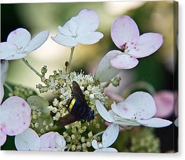 Pollen And Nectar Feeding Fly 10 Canvas Print by Douglas Barnett