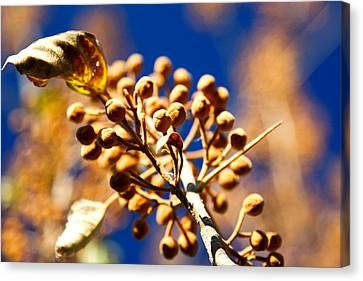 Pollyana Seed Pods Canvas Print by Christopher McPhail