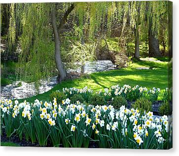 Polson Park Daffodils Canvas Print by Will Borden