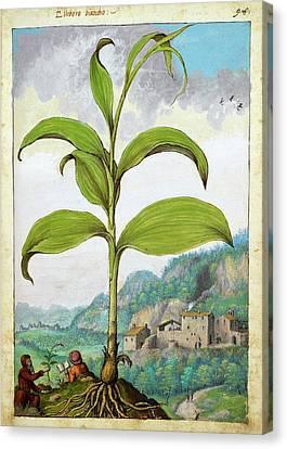 Polygonatum Bianco Plant Canvas Print by British Library