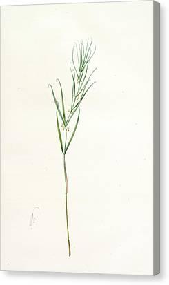 Polygonatum Sibiricum, Polygonatum Sibiricum Polygonatum De Canvas Print
