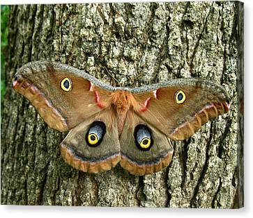 Polyphemus Moth Canvas Print by William Tanneberger