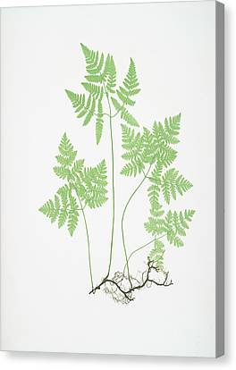 Polypodium Dryopteris Canvas Print by Artokoloro