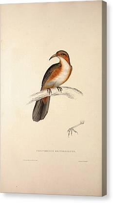 Pomatorhinus Erythrogenys, Rusty-cheeked Scimitar Babbler Canvas Print