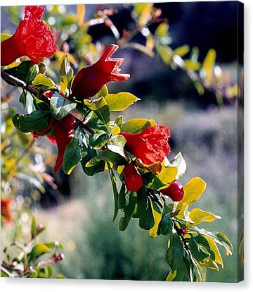 Pomegranate Forming Canvas Print by Kathy Bassett