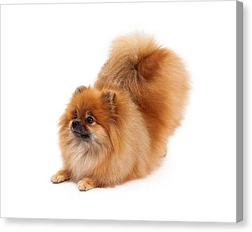 Pomeranian Bowing Looking To Side Canvas Print by Susan Schmitz